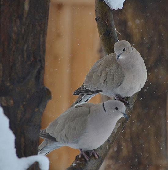Doves1_550