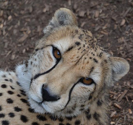 CheetahSmile1_W